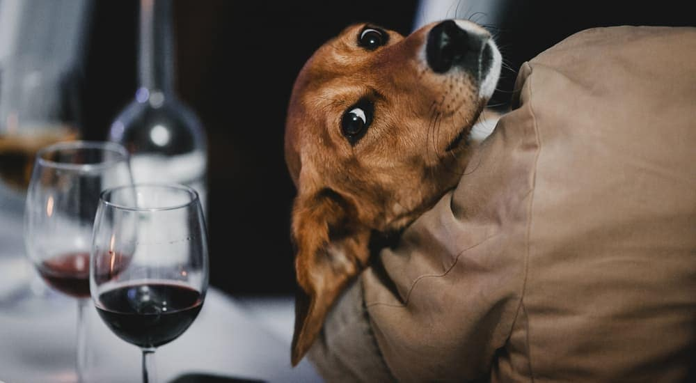 A dog is looking over the shoulder of its owner who is at a table with wine.