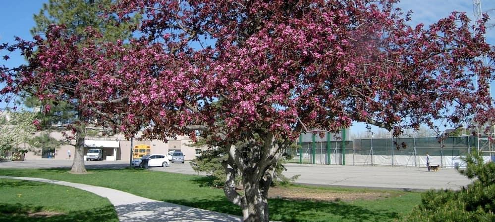Crimson King Maple tree at Murray City Park Arboretum