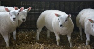 Lambs at a petting zoo | Eastgate chrysler Jeep Dodge Ram Indianapolis