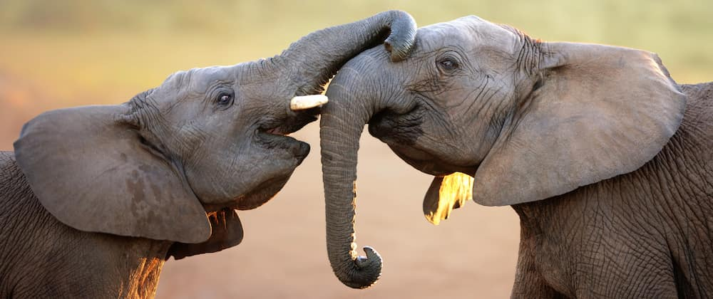 Elephants gently touching each other