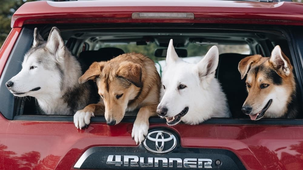 2019 Toyota 4Runner with dogs in the back
