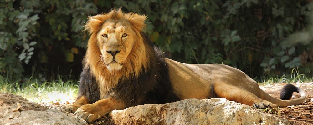Lion resting on rock in zoo exhibit
